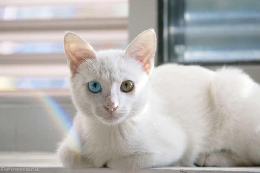 Devostock Animal Rare Cat Kitten Eyes Different Color Blue Green 4k