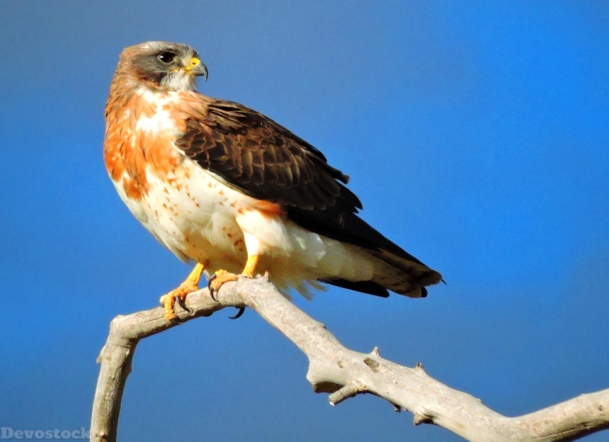 Devostock Animal Wild Bird Falcon Sky 4k