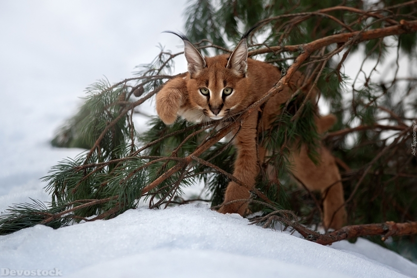 Devostock Animal Wild Cat Snow Cold Nature 4k