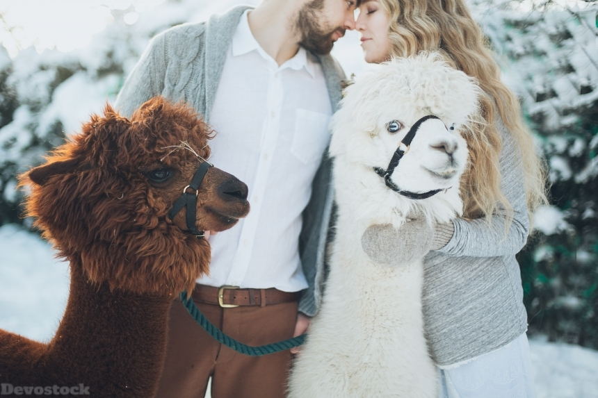 Devostock Animals Happiness Heroesbrief Couples Love Llamas 4k