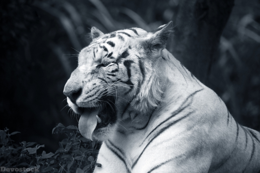 Devostock Big cats Tigers Snout Tongue Strong Animal BAW Black And White 4k