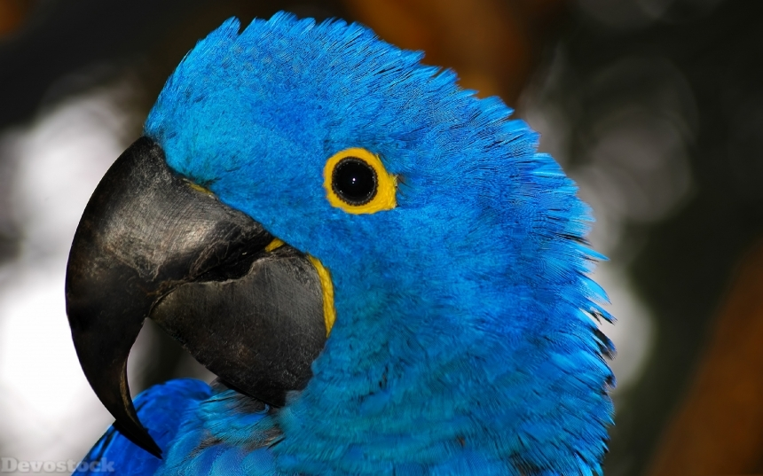 Devostock Birds Blue Parrots Ara (genus) Beak Head Blue Animal 4k