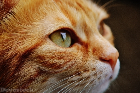 Devostock Cat Face Close View 0 4K