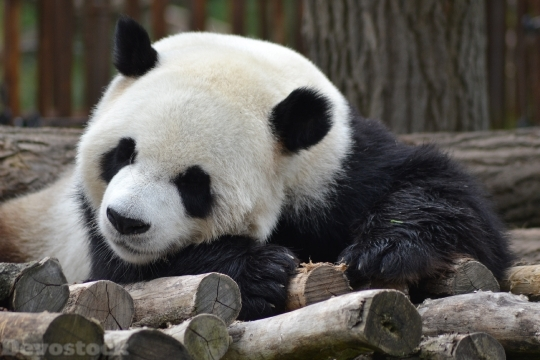 Devostock Cute Sleepy Giant Panda Wood 4k