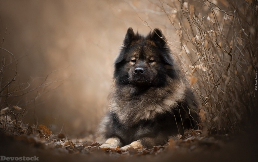 Devostock Dog Lying Eurasier At Twigs 4K