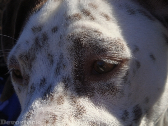 Devostock Dogs Pointer Face Animals 4K