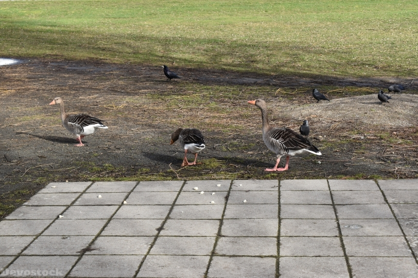 Devostock Exclusive Animal Birds Outdoor Park Group Ducks Eating Bread Crumbs 4k