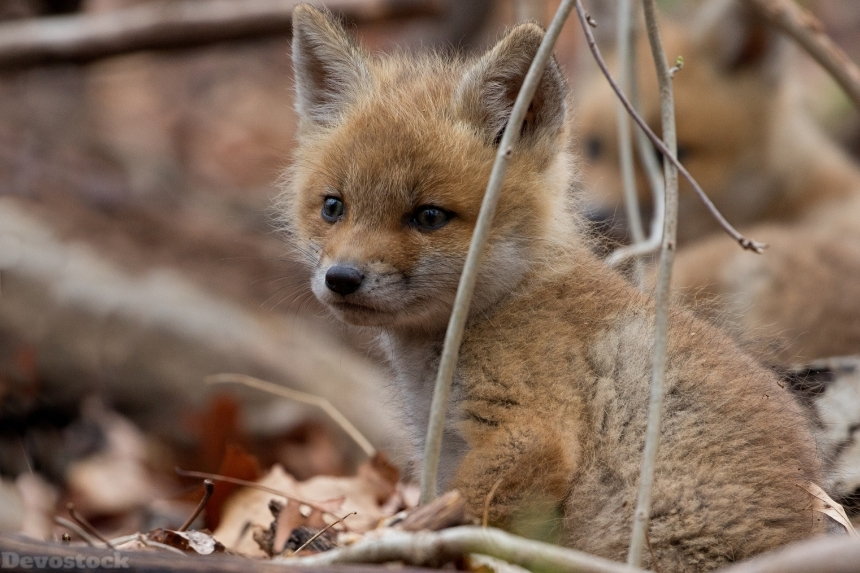 Devostock Foxes Cubs Glance 4K