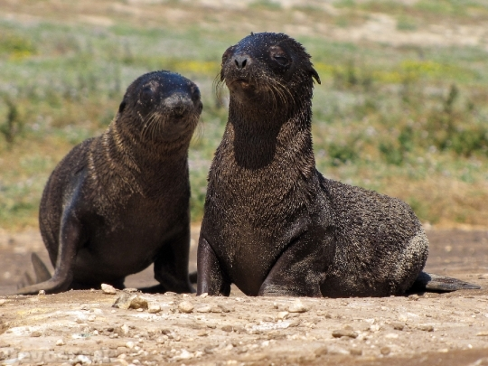 Devostock Fur Seal Faces 4K