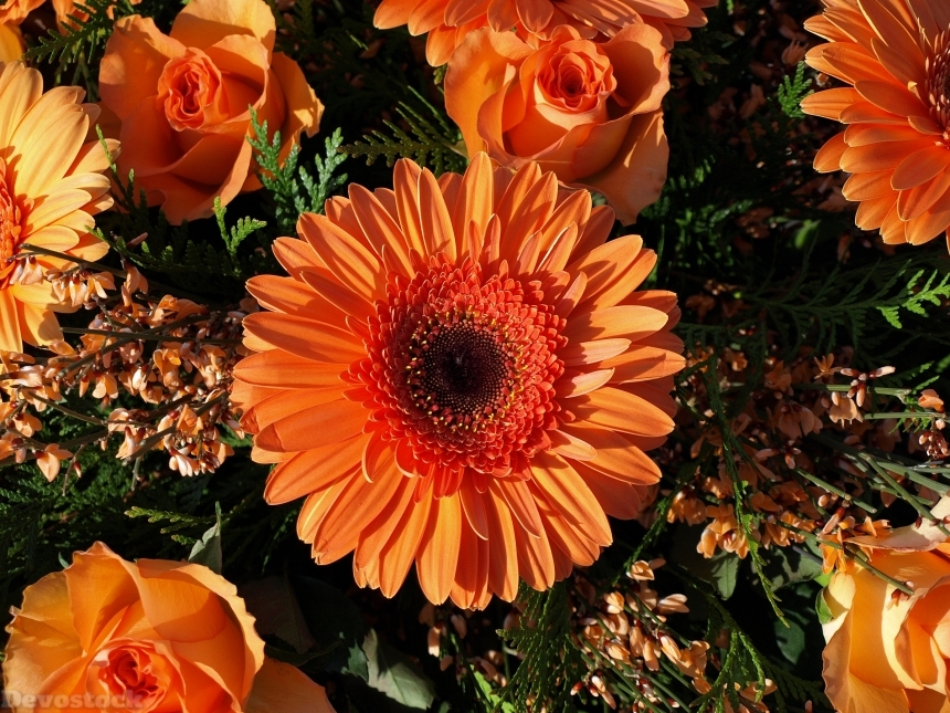 Devostock Gerberas Roses Closeup Orange 4K