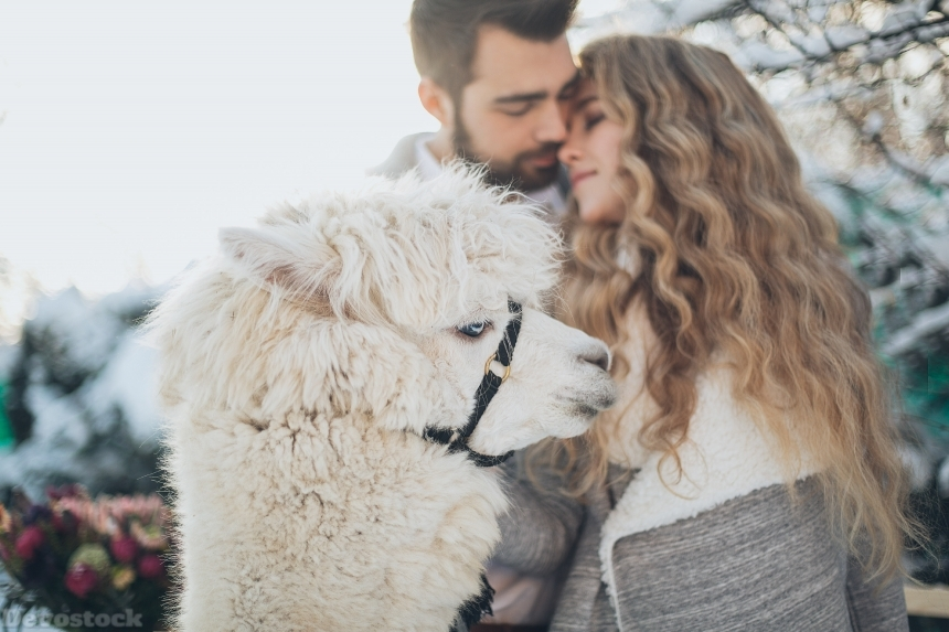 Devostock Love Couples Adult Affection Animal White Llama Snow 4k