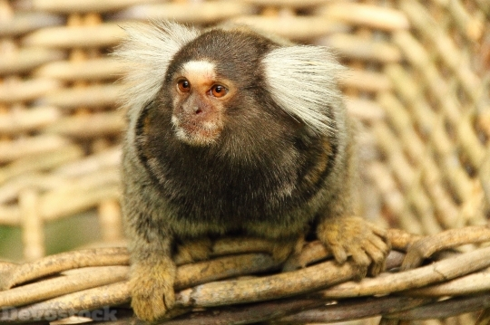 Devostock Marmoset Monkey Animal Mammal 0 4K
