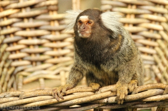 Devostock Marmoset Monkey Animal Mammal 4K