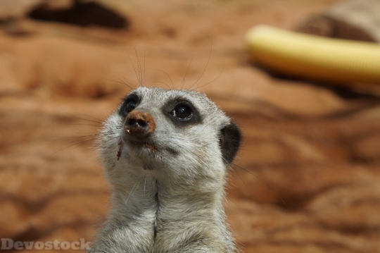 Devostock Meerkat Head Portrait Face 4K