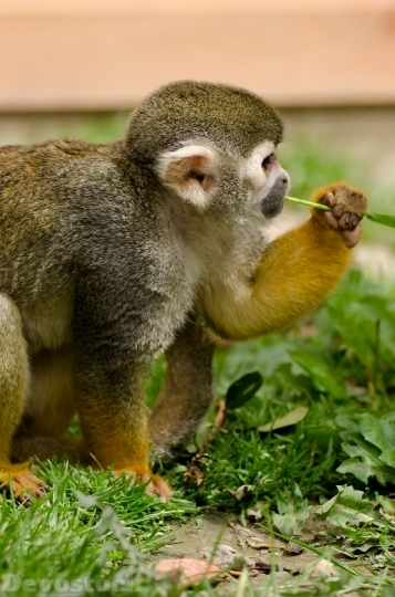 Devostock Monkey Amazon Squirrel Rainforest 0 4K