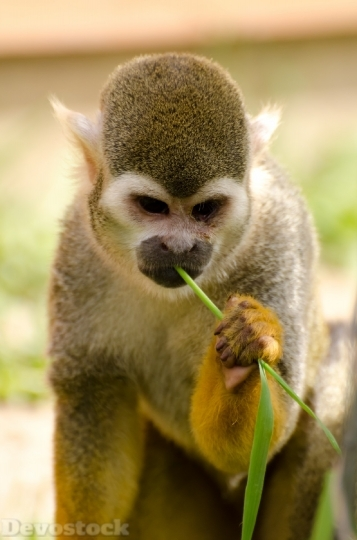 Devostock Monkey Amazon Squirrel Rainforest 1 4K
