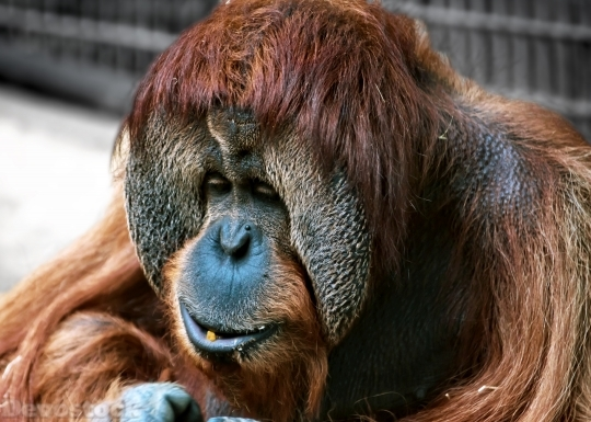 Devostock Monkey Orang Utan Animal 4K