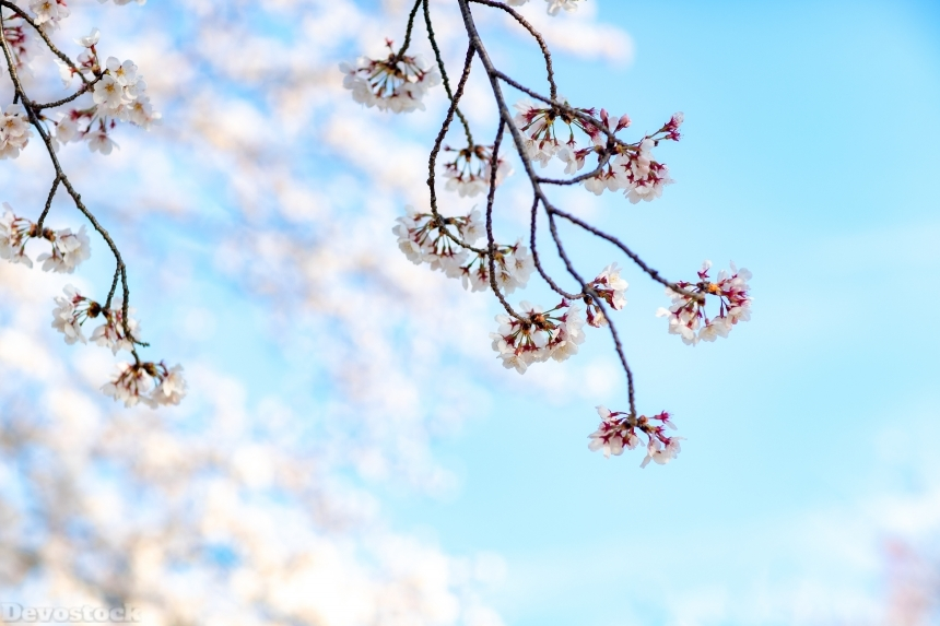 Devostock Nature Blossoms Full Bloom Cherry Blue Sky 4k