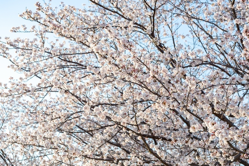 Devostock Nature Blossoms Full Bloom Cherry Tree White Flowers 4k