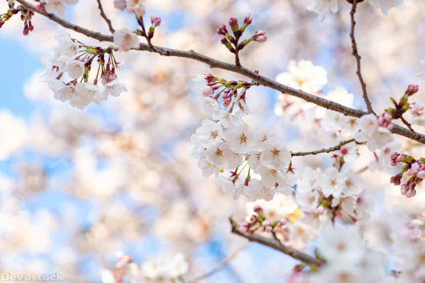 Devostock Nature Blossoms Full Bloom Cherry White Flowers 4k