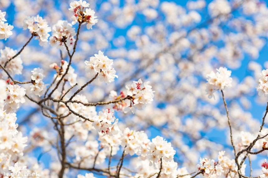 Devostock Nature Blossoms Starting Bloom Cherry White Flowers 4k