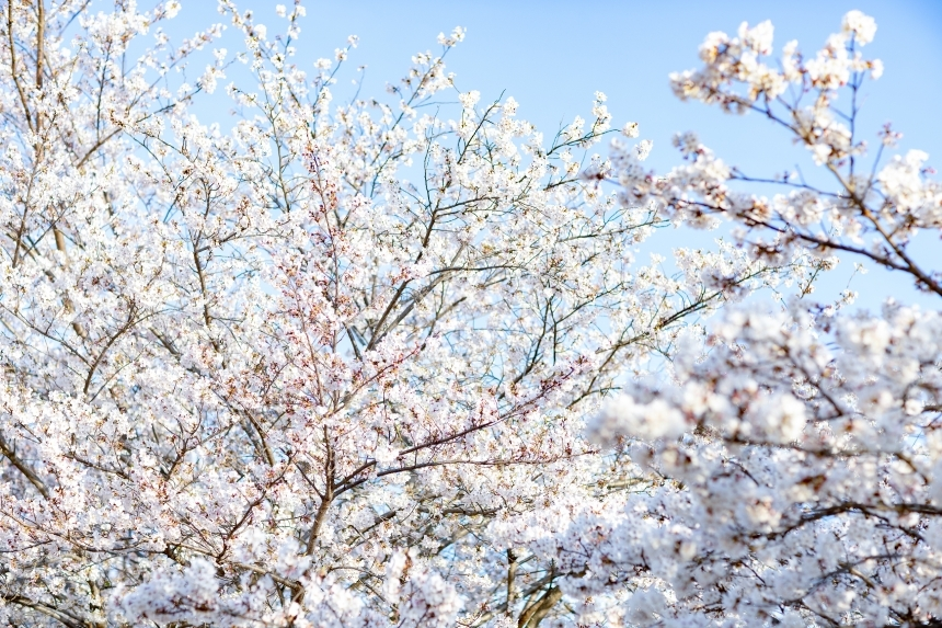 Devostock Nature Blossoms Trees Bloom Cherry White Flowers 4k