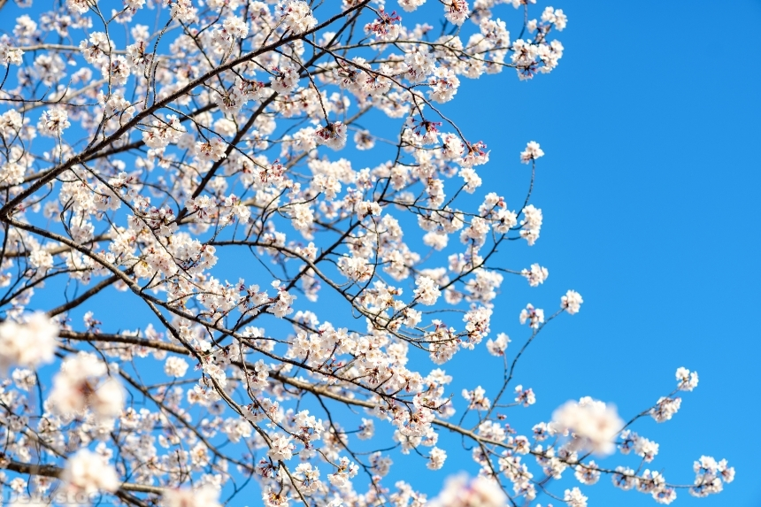 Devostock Nature Blue Sky Bloom Cherry White Flowers 4k