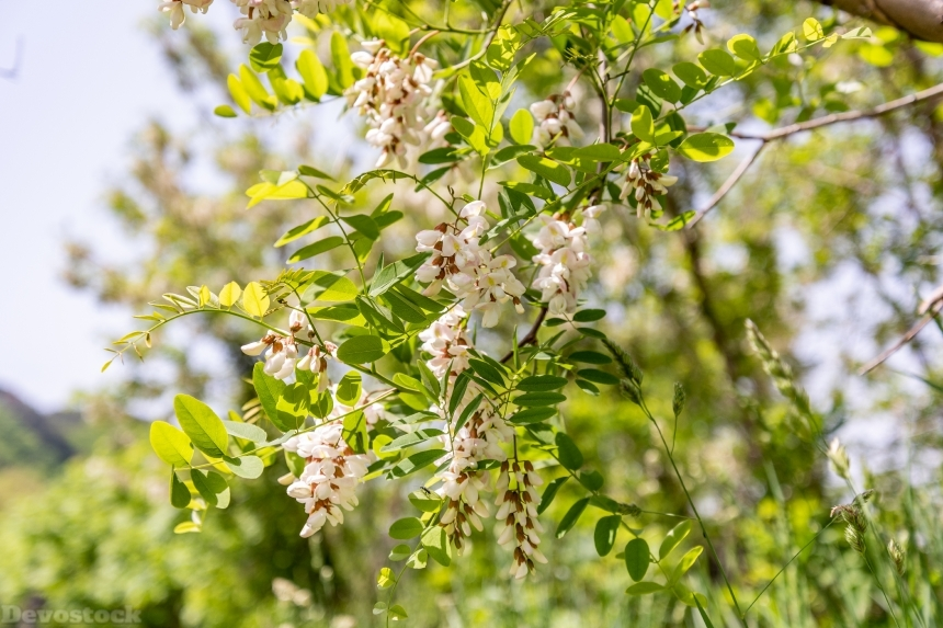 Devostock Nature Close View White Fake Acacia Flowers 4k