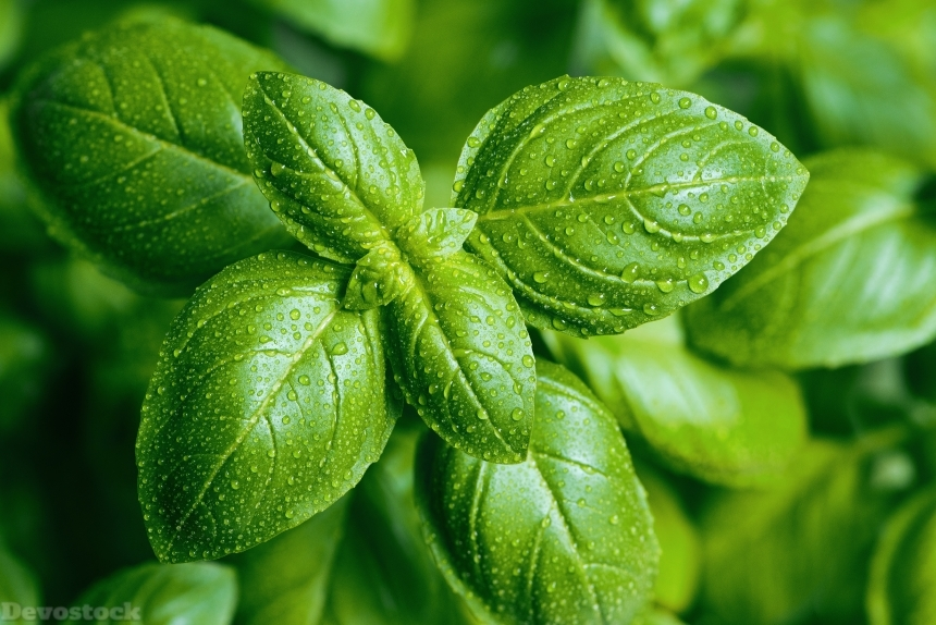 Devostock Nature Closeup basil Drops Foliage Green Food 4k