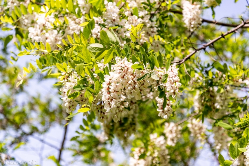 Devostock Nature Closeup White Acacia Flowers 4k