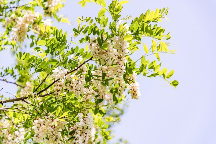 Devostock Nature Closeup White Acacia Light Weather Flowers 4k