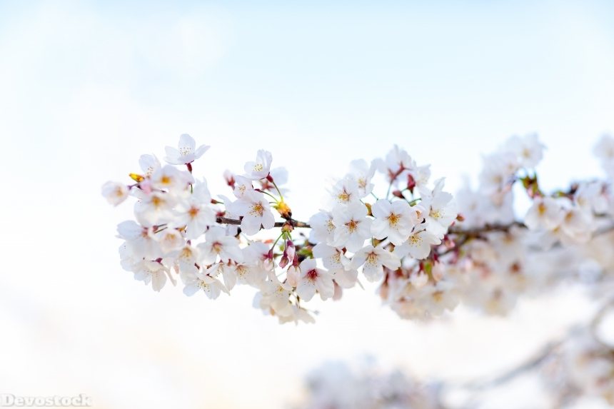 Devostock Nature Full Bloom Cherry Blossoms Sky 4k