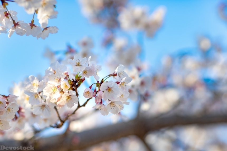 Devostock Nature Full Bloom Cherry White Blossoms Sky 4k