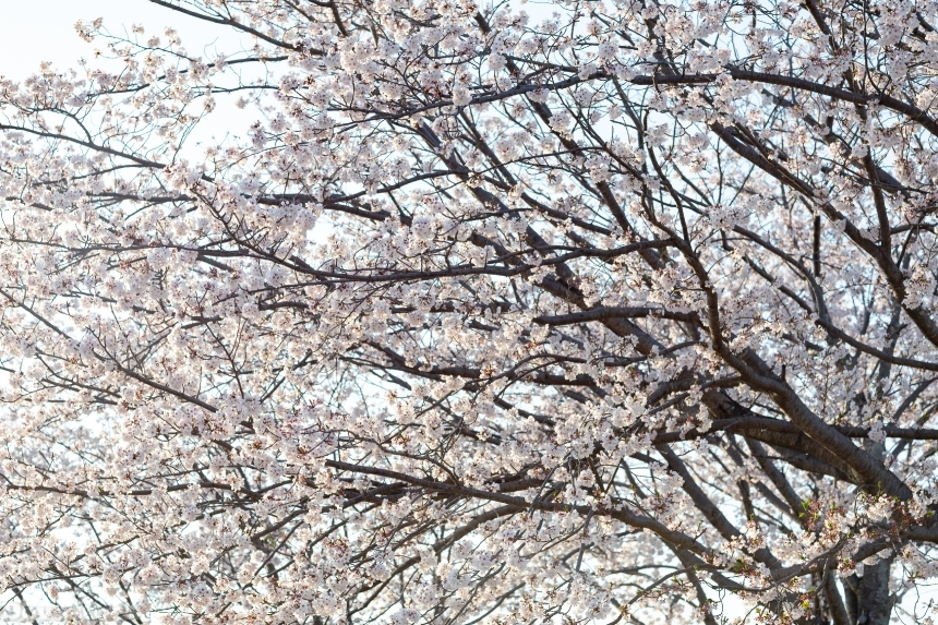 Devostock Nature Full Bloom Tree Cherry Sunlight Blossoms Sky 4k
