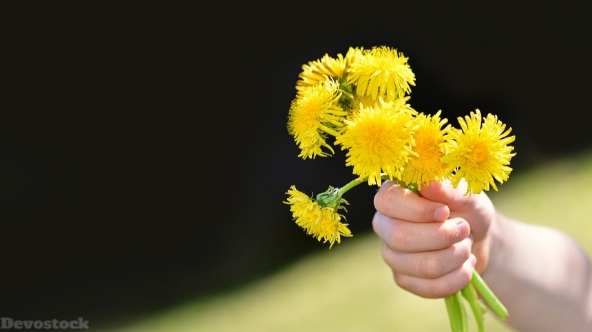 Devostock Nature Hands Gift Flowers Love Kindness Dandelions 4k