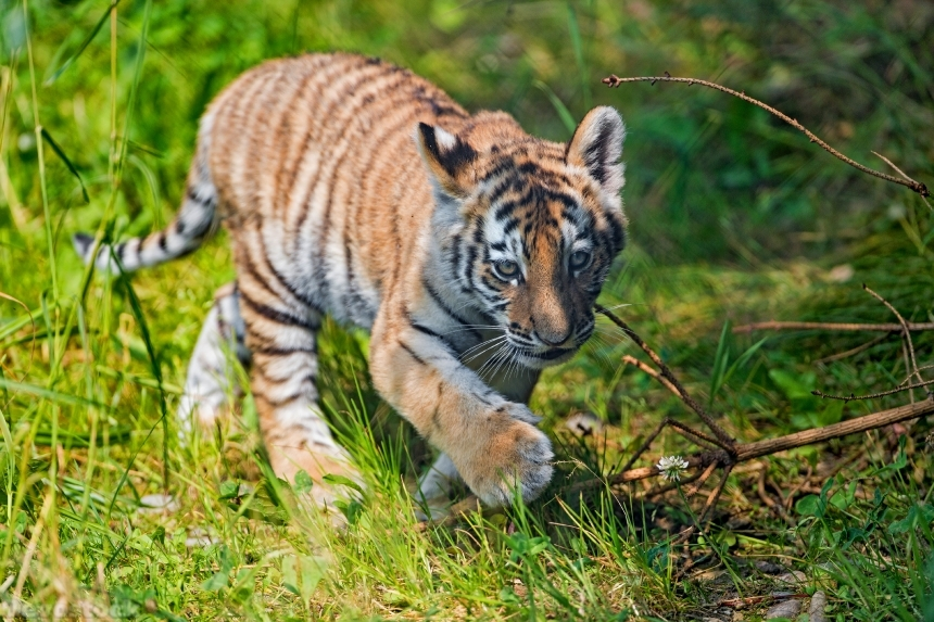 Devostock Nature Little Tiger Cubs Paws Grass Animal 4k