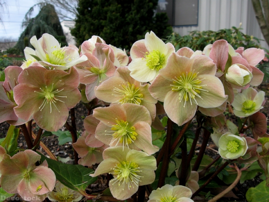 Devostock Nature Outdoor Hellebore Closeup Flowers 4k
