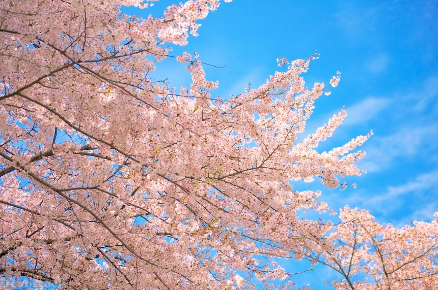 Devostock Nature Outdoor Landscape Cherry Blossoms Blue Sky 4k