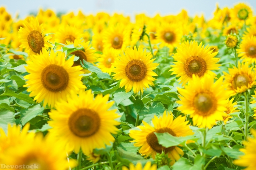 Devostock Nature Outdoor Sunflowers Flowers Summer 4k