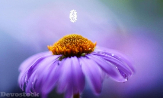 Devostock Nature Purple Flower Cold Dew 4k