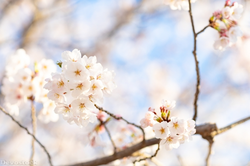 Devostock Nature Spring Full Bloom Cherry Blossoms 4k