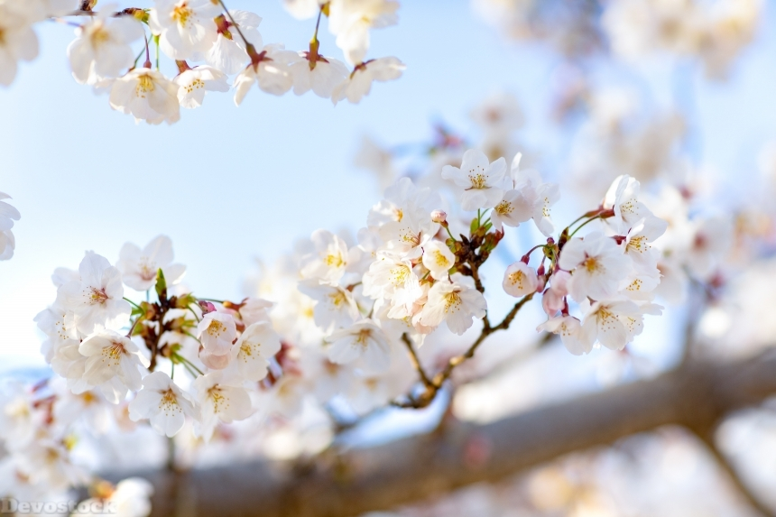 Devostock Nature Spring Full Bloom Cherry Blossoms Sky 4k