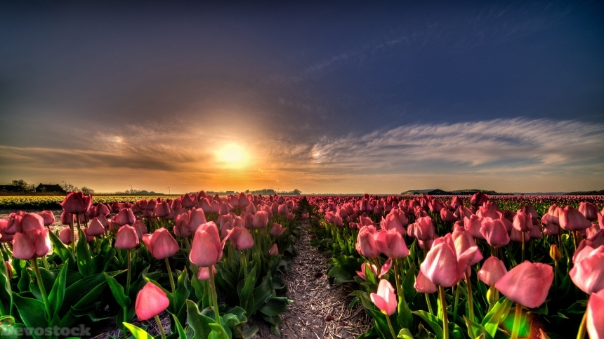 Devostock Netherlands Tulips Fields Sunrises And Sunsets 4K