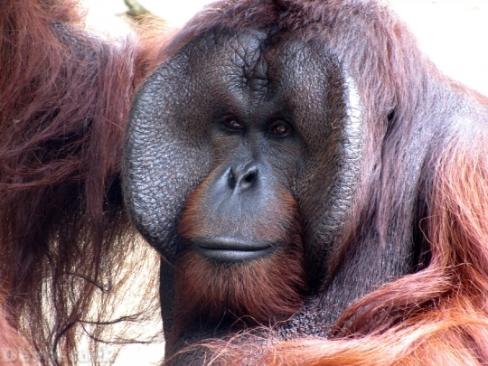 Devostock Orangutan Animal Monkey Zoo 4K