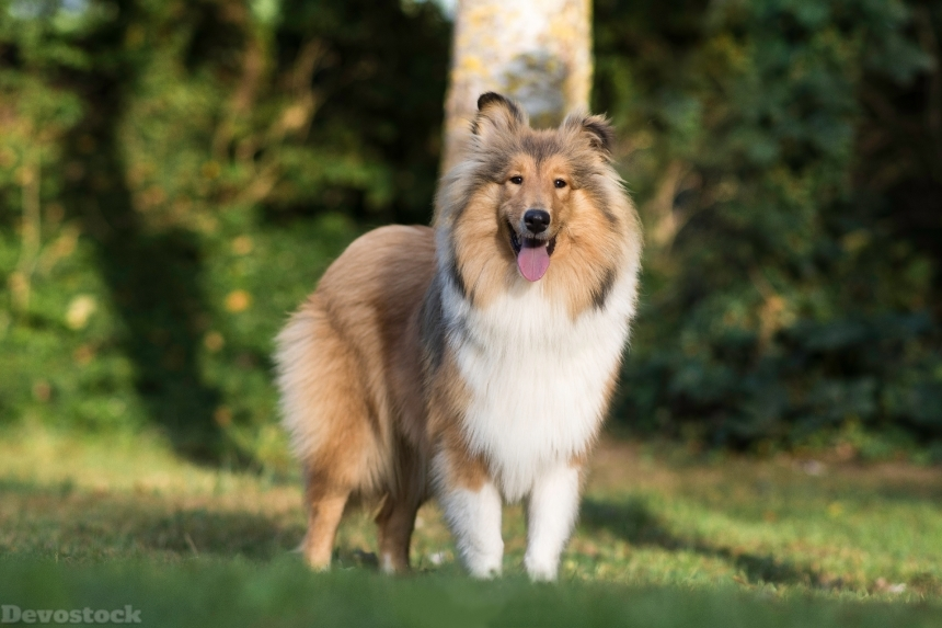 Devostock Outdoor Dogs Sheltie Shetland Sheepdog Tongue Animal 4k