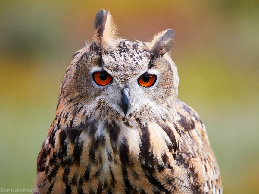Devostock Owls Eurasian eagle-owl Glance Animal Orange Red Eyes 4k