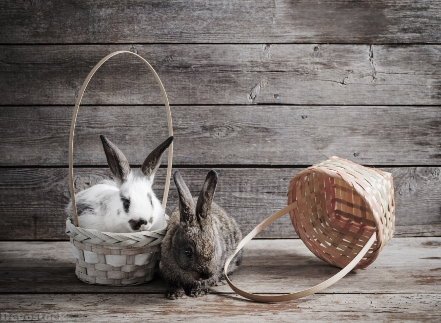 Devostock rabbits on wooden background