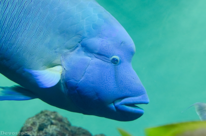 Devostock Rare Beauitiful Sea Fish Humphead wrasse Blue 4k