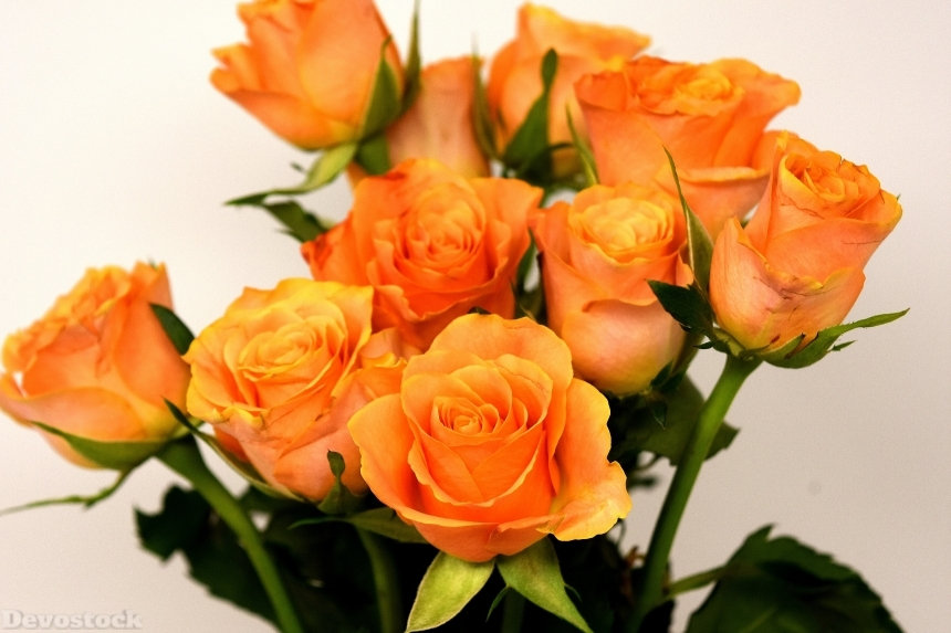 Devostock Roses Closeup Orange Flowers White Background 4k