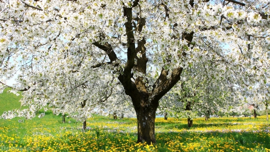 Devostock Stunning Nature Spring Weather Tree White Flowers 4k